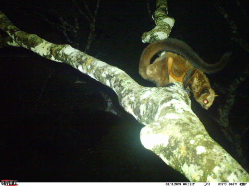 source #indian giant flying squirrel #squirrel#rodent