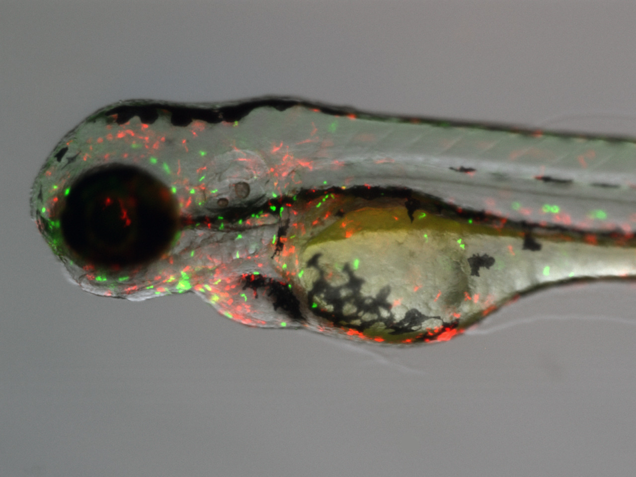 Could Zebrafish lead the way in the future of shape shifting? In a 2012 study, researchers in Bristol created artificial muscles, an example of artificial transmogrification - the ability to 'shape shift' or simply to change physical appearance due to stimuli or independent thought. The ability to change physical form is shown in many animals, from bioluminescent sea dwellers to the common chameleon, It's believed that these abilities are used to represent mood, to fend off predators, to communicate and to camouflage. The malleable artificial muscles were inspired by chromatophores, a specialist cell found in all of these animals, the chromatophores are organelles found in cells responsible for pigmentation change and light reflection. According to the development team, their artificial chromatophores may eventually evolve into artificial compliant skin which can stretch and deform, yet still operative effectively. Is this the future of medical science? Is skingrafting to be a thing of the past? Do stem cells have competition? Only time can tell.
