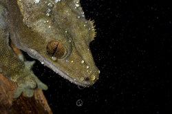 earthlynation:  Crested Gecko by AngiWallace