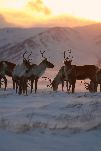 ewigwinter:  Caribou by Wolfhorn on Flickr.