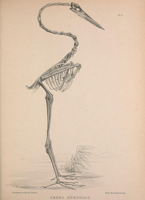 The Great Blue Heron skeleton (Ardea herodias)_w1150 by BioDivLibrary on Flickr. Osteologia avium, or, A sketch of the osteology of birds /.[Wellington] :Published by R. Hobson, Wellington, Salop,1858-1875..biodiversitylibrary.org/page/41399261