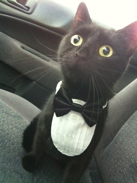 umfag:  godofhentai:  My cat  OMG ADORABLE AND IT HAS A BOW TIE MIAA