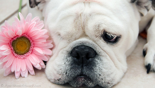 mothernaturenetwork:  Meet Piper, the one-eyed bulldog with a passion for painting This English bulldog was once known for her grumpy disposition, but these days she's famous for her paintings, which benefit the dog rescue she once called home.  SO. MANY. FEELINGS.