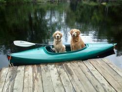 dog animals cute lake summer dogs canoe dock golden retriever