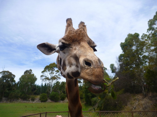 bohemianbabydoll:  Feeding Harriet the giraffe at Orana Wildlife Park.