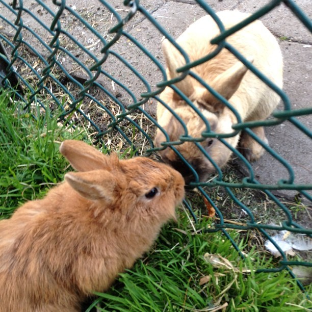 "thefluffingtonpost:  Star-Crossed Bunnies In Love Despite Obstacles Even though them come from opposite sides of the fence, Pam and Clyde are in love. The two bunnies will stop at nothing to be together, according to friends, even though their parents forbid it. ""They're not supposed to associate with one another,"" said a source close to the situation, speaking to The Fluffington Post on the condition of anonymity. ""Pam comes from the grass side of the fence, and Clyde lives on the pavement side. Their love is verboten."" The two have been meeting surreptitiously, trading notes through the fence links. No word on how they're planning to be together longterm. Via rabbitpam."