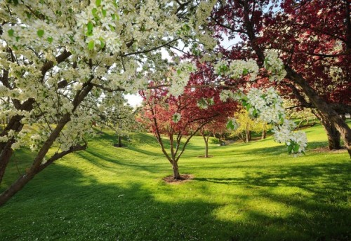 Apple trees bloom in Pioneer Park on Friday, May 10, 2013.View the photo gallery here: http://bit.ly/12jlSqT