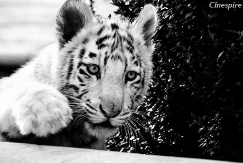 New edit of a photo taken in 2009.  A white tiger in the yard. Cinespire also on Facebook, Model Mayhem and Flickr.