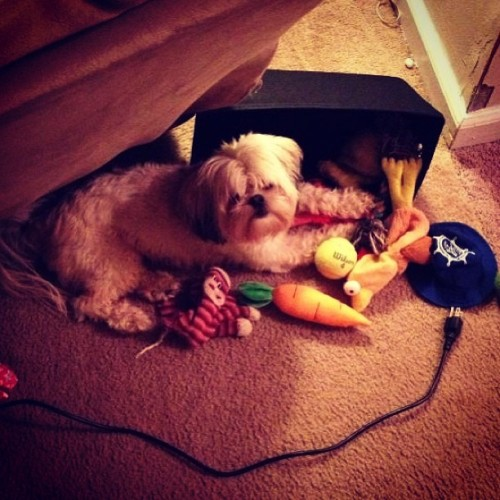 My dog Lulu likes to spill her basket of toys and lay in them. #dog #cute #puppy