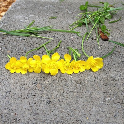 7 Buttercups from Jake for Jess on Mother's Day (at Bellevue Botanical Garden)