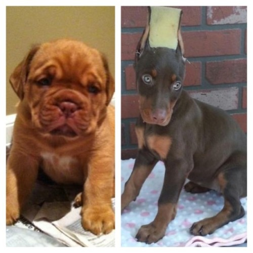Puppy shopping can't decide :( King Doberman VS Dogue De Bordeaux (French Mastiff)