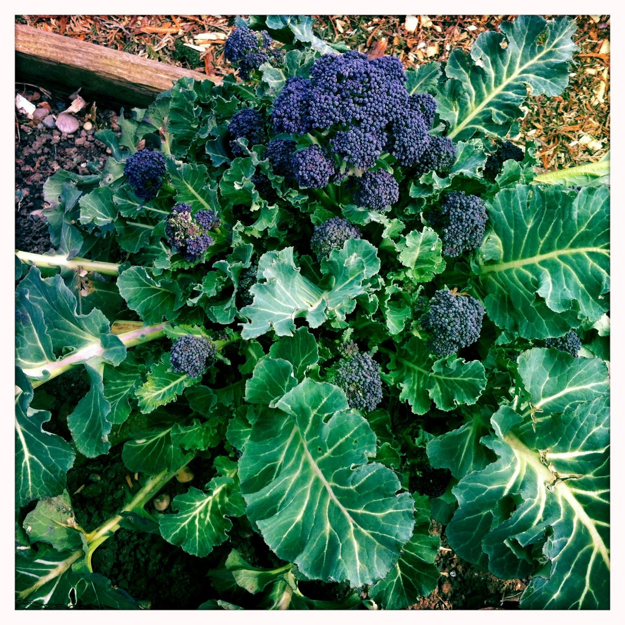 Purple sprouting broccoli The last of last year's planting is performing very well and filling the gap between winter and spring crops. I still have some improvements to make, but now have a proper supply of of fresh vegetables every day of the year. The recent very cold weather, snow and strong winds have battered most of the leaves beyond pleasant eating, but the chickens love them. After I've cut this central head, many more side shoots will be ready in a few weeks time. I'll be serving this later alongside some wild garlic and mushroom risotto. It's very satisfying to be eating a meal that includes so much home produce even at this lean time of year.