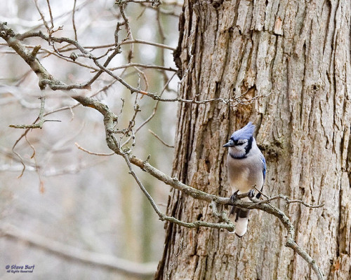 """Blue Jay"" - by Steve Burt"