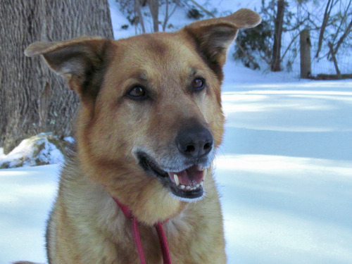 Abby, as sweet as she is beautiful, a shephard mix who owns my friend Lisa.