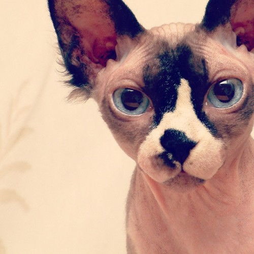 I really want a sphynx cat. Like. Really bad. 🐱🐈😻 #sphynx #hairless #cat #socute