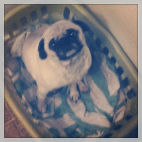 Pugsley, always gets in with clean laundry! Please follow  @jamesfitz01 @F1TZZZ ! #pug #pugs #pugsofinstagram