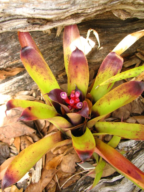 Aechmea 'Roman Rocket'  Not sure if this name is valid or not, since I cant find it on the Bromelaid Cultivar Registry (BCR), but its a nice plant! An Aechmea recurvata hybrid, it's cold hardy and takes full sun.