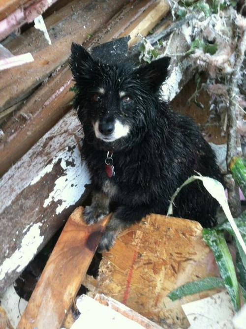 "hikergirl:  allcreatures:  Another fortunate little fur-pal found safe in the rubble. (twitter.com/OkCountySheriff)  MOORE, Oklahoma - A photo of a mud-splattered pup taken by the Oklahoma County Sheriff's Office takes on new significance after its owner's body is recovered. ""Man's best friend to the end,"" the Sheriff's Office posted on its Facebook page Tuesday. Deputies initially released a photo Monday of the small black dog sitting in debris following the devastating EF-5 tornado with the comment ""scared, this little pup survived."" On Tuesday they learned the dog was guarding his deceased owner whose body was recovered. ""The dog was taken to a shelter and the deputy who found the pup, if possible, plans on adopting the dog,"" the OCSO tweeted on Tuesday. ""Man's best friend to the end."" (via) Oh man."