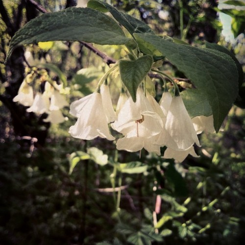 White Bell #Flower #macro #landscape #scenery #DOF #outdoor #iPhone #HDR