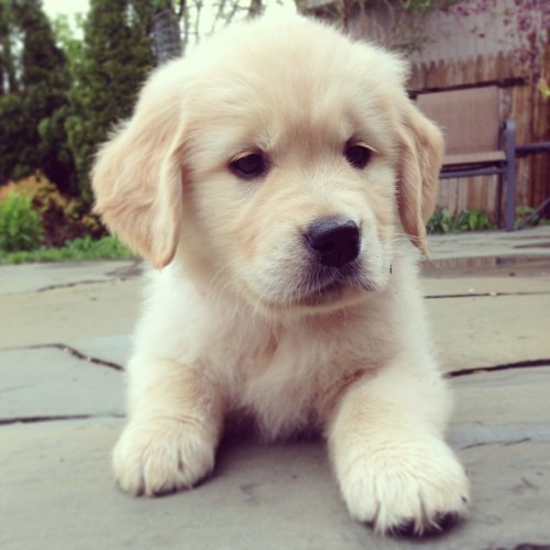 My new puppy!!! 💕✨😊 #peeps #goldenretriever #puppy #cute #soooofluffy!!!