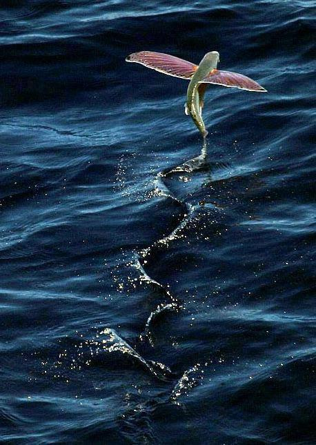 naturalbluee:  flying fish