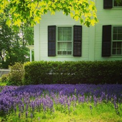 I #adore this sea of #purple! #oldhouse #litchfield #CT #nwc #nwct #flowers #wildflowers #inbloom #grass