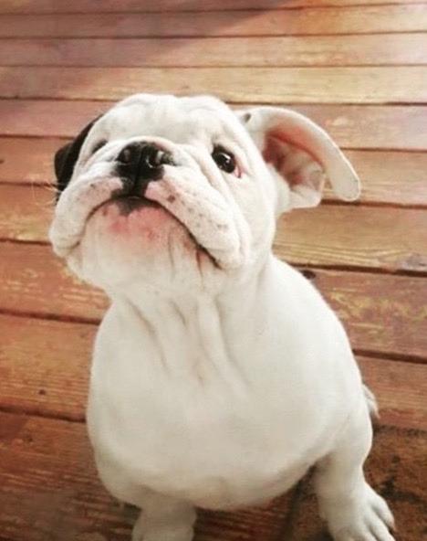 puppy pictures bulldog english bulldog adorable bottom lip