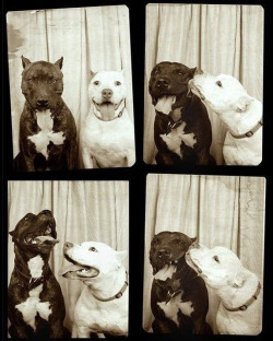 lomographicsociety:  Black and White Pitbulls in a Black and White Photobooth! How's this for puppy love? ♥