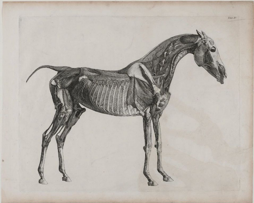 cavetocanvas:  George Stubbs, The Anatomy of the Horse, 1766