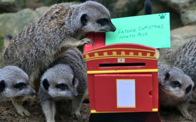 ZSL London Zoo's meerkats post insect-stuffed letters to Santa into a miniature postbox.  Picture: Rex Features