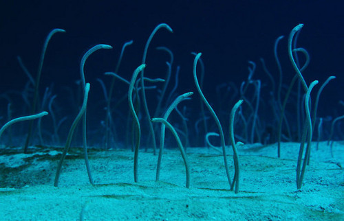 thelovelyseas:  garden eels menjangan bali by blueparadiseindonesia on Flickr.