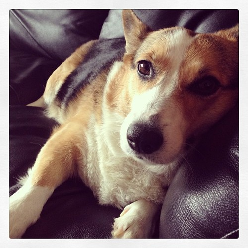 corgiaddict:  Meet Kail- Woof!submitted by Thestoryofagirl