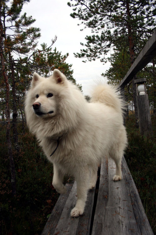 animalfunwithnature:  Samoyed by ~LaQuuna