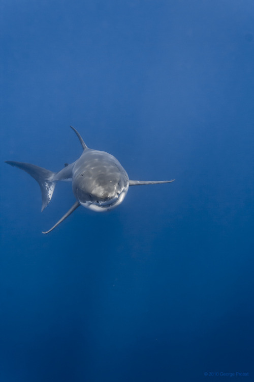 oliviatheelf:  the-seventy-percent:  Great white shark rising (by George Probst)  My favorite beast of the ocean!!!!!! <3