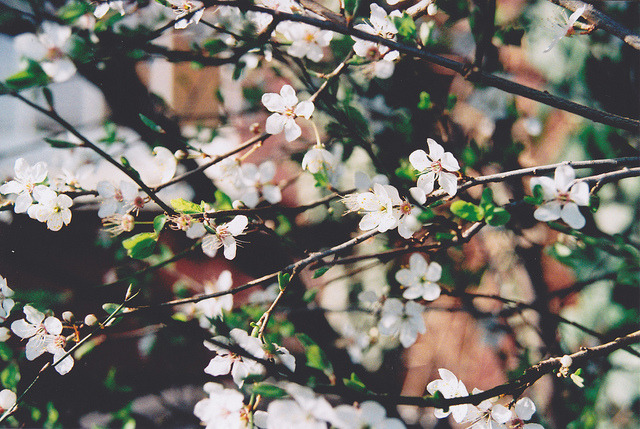 fiskarna:  Early spring blossom by Simple Village Girl on Flickr.