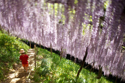 Photo of the Day: Down Below the Wisteria in Japan      A young boy walks in a garden blooming with purple wisteria on May 12, 2013. (kobaken (こばけん)/Flickr) Want to see your images in our 'Photo of the Day' posts? Find out how.
