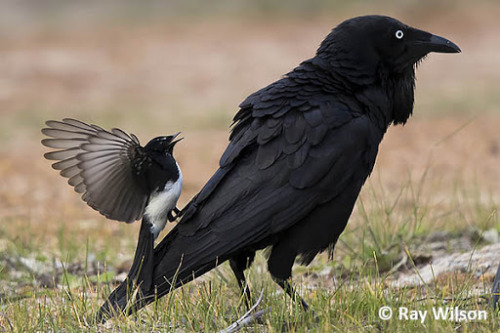 theraptorcage:autorotation:  theraptorcage:Australian Raven (aka Little Raven) being harassed by a Willie Wagtail I had to draw them   Holy fuck