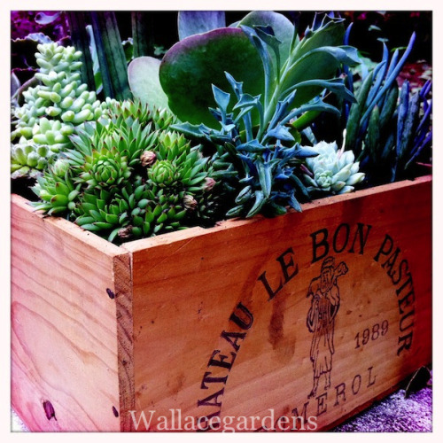 Succulents in a repurposed Pomerol Bordeaux wine box from Château Le Bon Pasteur. Such a lovely wooden crate should be put to work after the wine is gone.