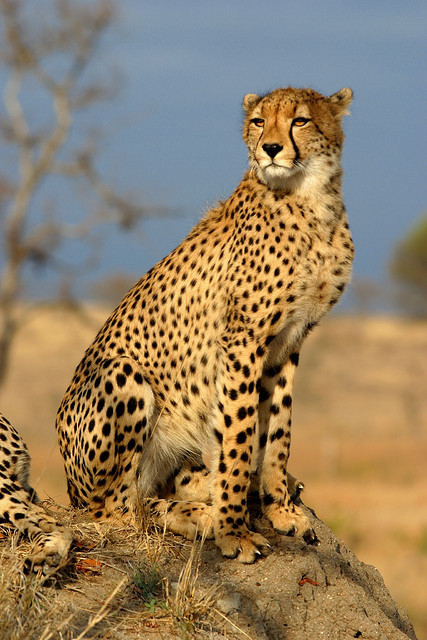 earthes:  Cheetah by James Temple on flickr