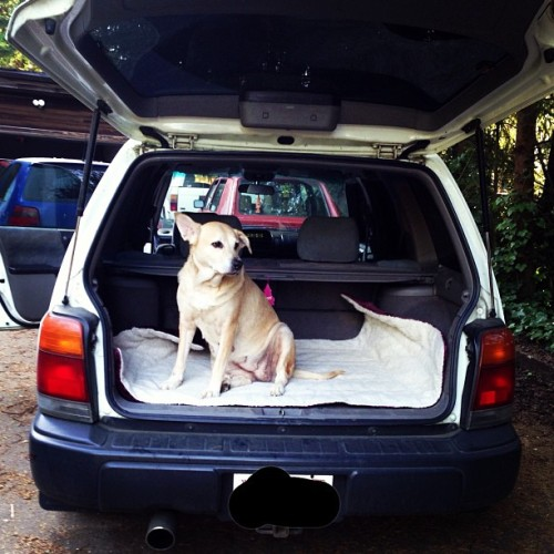 #subi #subinoobie #subaru #forester #lezbaru #grace #dog #lab #labmix #vw #20th #toyota #4runner