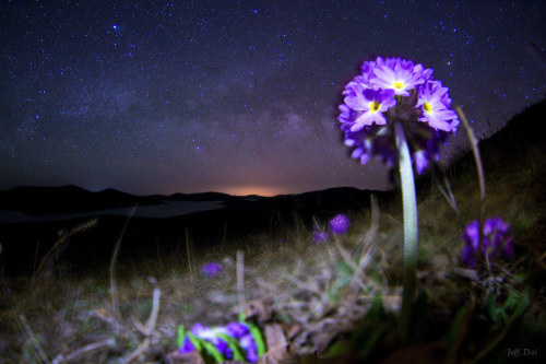 "ikenbot:  Wild Flower under the Milky Way     ""This flower is called Primula Denticulata and is located at 1500-3000m above sea level in northern part of Yunnan, China. I had strong desire to take a macro image of these flowers and it took me an hour hour to find them. Putting the camera on the slope, focusing, composition and lightning were all very difficult but the worst thing is shortness of time to moonrise. I had to leave soon."" — Jeff Dai"