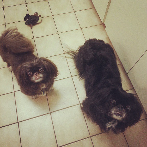 Now there are two little doggies. #pekesofinstagram #peke #pekingese