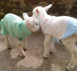 brokenbirdbones:  heyitskirree:  Ok so I was looking after some lambs today because their mother's died in the snow and they got pretty cold so some volunteers had knitted them some jumpers to wear and yeah the lambs are wearing jumpers guys.  julie this is for you xxxx  Ahhhhh lambs!