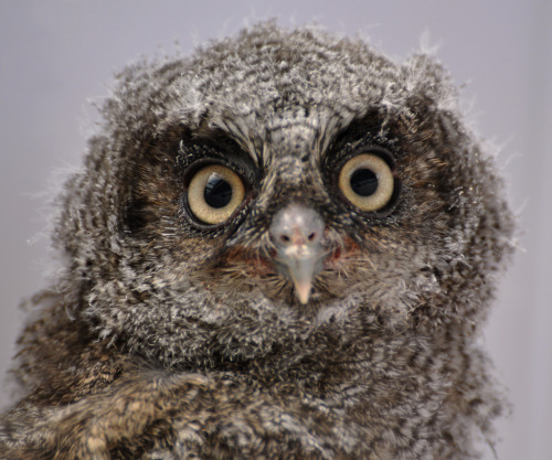 OWL CHICK (by Musicaltone)