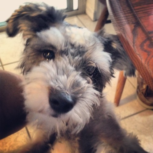 #Silly Bo, my #adorable, #sweet, #precious #cute #baby #schnauzer. #instapet #dogstagram  (at Casa de Redman)
