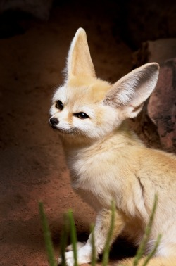 eqiunox:  Fennec Fox by Jonathan Punton on Fivehundredpx