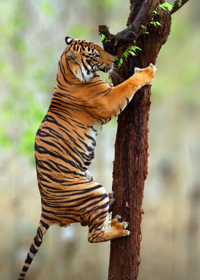 theanimalblog:  Tiger Climb. Photo by Prabu Dennaga