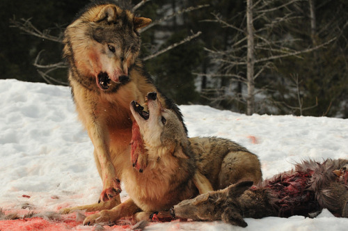 brutalgeneration:  Wolf Courtship by Ami 211 on Flickr.