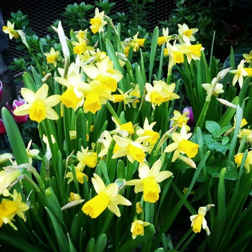 Daffodils; my favorite flower. ❥