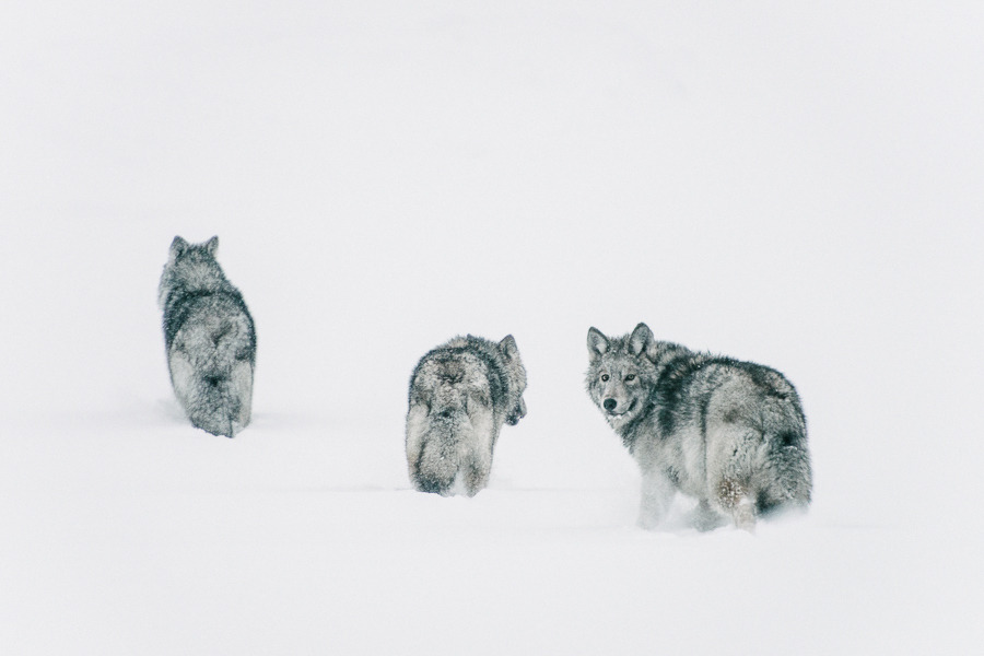 wolves by Ivan Kislov